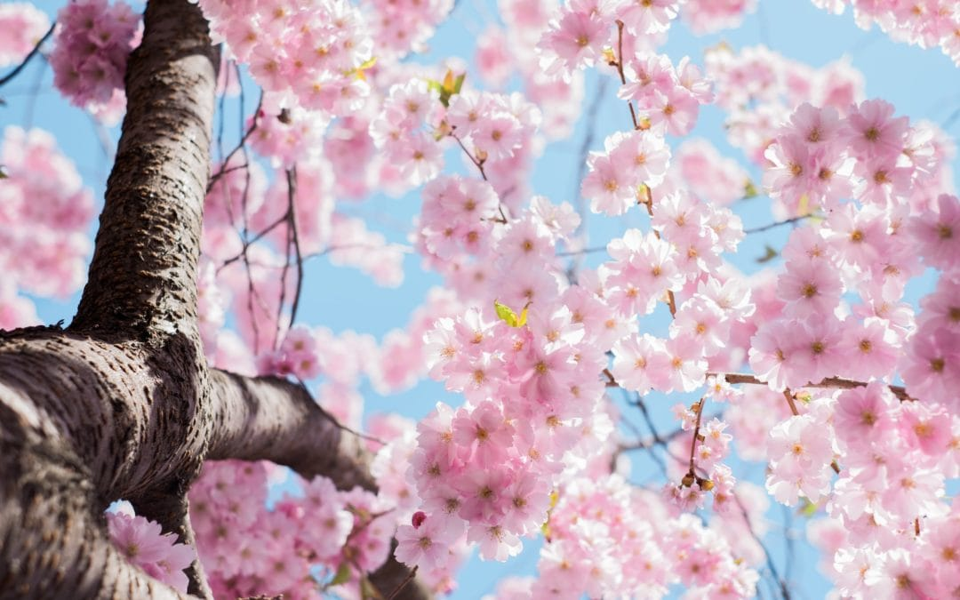 Tree with pink flowers in the Spring, get your Spring HVAC Maintenance